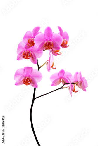 branch of tiger's violet orchids isolated on white..