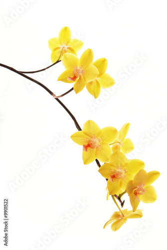 branch of yellow orchids isolated on white