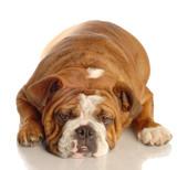 red brindle english bulldog lying down poster