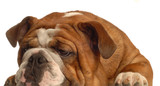 red brindle english bulldog isolated on white background poster