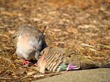 Two cute cuddling crested pigeons (Ocyphaps lophotes) poster