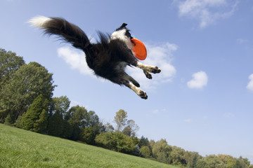 Border collie playing with frisbee