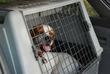cane da caccia in auto
