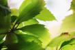 Beautiful green leaves close-up. Shallow DOF.