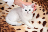 White cat on leopard rug poster