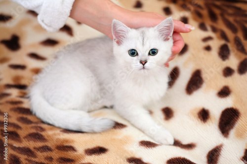 Poster White cat on leopard rug