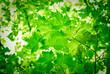 feuilles vertes de printemps