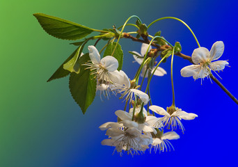 cherry-tree flowers on blue and green