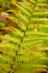 Fern leaves in an early autumn close-up.