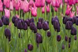 Tulpen Lila Pink poster