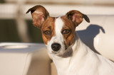Majestic Jack Russell Terrier Dog Portrait poster