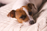 Jack Russell Terrier Dog Portrait on Pillow poster