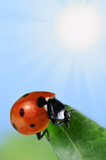 Red seven-spot ladybird  on a green leaf