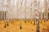 an autumn birchwood in October poster
