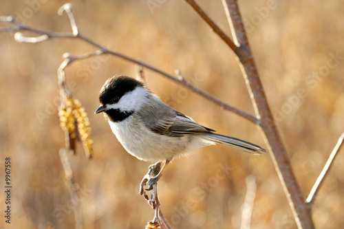 Black-capped chickadee perching on a twig in fall