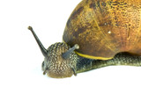 Common garden snail isolated on white background poster