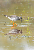 Reflections of a wading Greater Yellowlegs poster