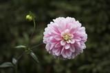 Magnificent chrysanthemum in autumn  garden poster