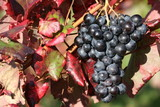 vin, rouge, raisin, alcool, vigne,grappe,rouge,blanc,