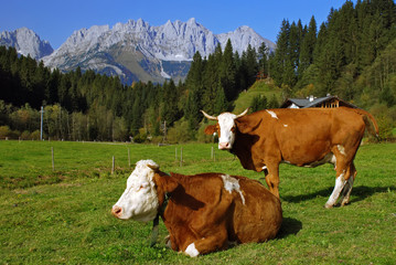 Ttwo cows on Austrian alps