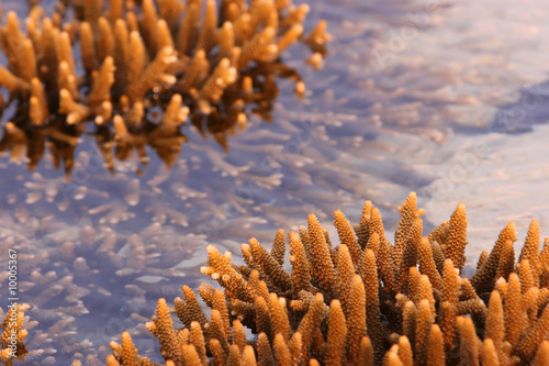 Staghorn corals exposed during low tide, Malaysia