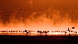 flocks of flamingos in the sunrise, lake nakuru, kenya poster