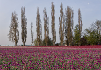 Tulips with trees blooming in the Skagit Valley Tulip Festival