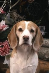 Beagle tu veux être mon ami ?