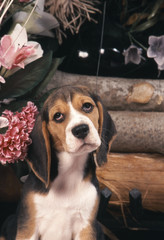 Beagle assis s'il vous plait !