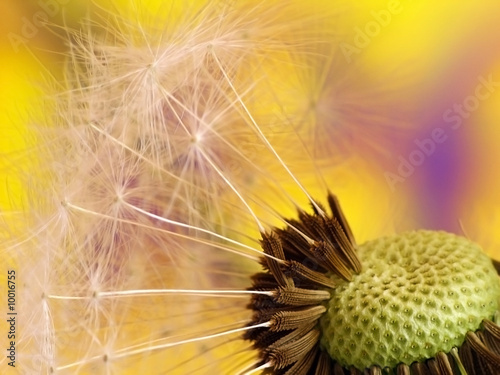 Colorfull dandelion - 10016755