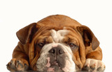 Fototapety english bulldog lying down face on with silly expression