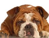 red brindle english bulldog making a funny face poster