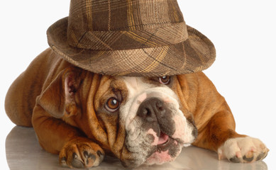 english bulldog wearing plaid fedora