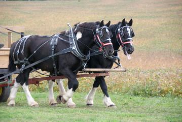 Draft horses pulling cart