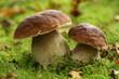 Leinwandbild Motiv Two mushrooms