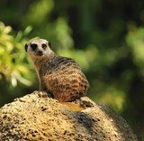 Meerkat on lookout sitting on a rock