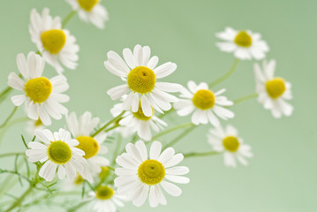camomile flowers on a delicate green background