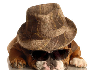 english bulldog wearing fedora and dark sunglasses