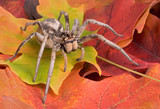 wolf spider crawling through fall leaves poster