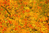 The vibrant colors of a Sugar Maple tree during peak colors. poster