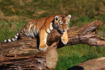 Siberian tiger cub laying at a tree