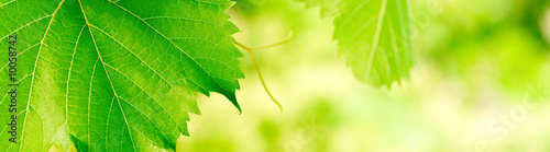 In de dag Wijngaard green foliage banner background with vivid colors