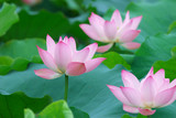 Three lotus