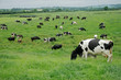 Friesian (Holstein) dairy cows grazing on lush green pasture