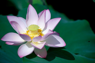 Lotus in Morning
