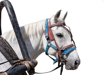 Isolated head of the harnessed horse