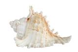 White sea shell (isolated on black background)