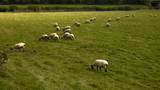 sheep animal farm farming agriculture wool livestock animal poster
