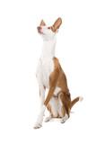 Ibizan hound poster