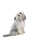 mixed breed toy dog poster